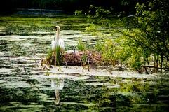 Cisne e pintainhos no ninho Fotos de Stock