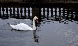 Cisne e refelctions Imagem de Stock