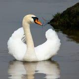 Cisne e reflexão Fotos de Stock