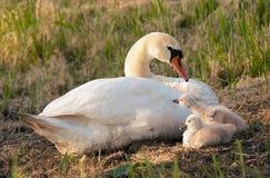 Cisne e seus bebês Foto de Stock Royalty Free