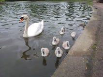 Cisne e sinetes Foto de Stock Royalty Free