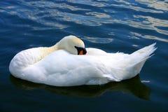 Cisne el dormir Fotografía de archivo libre de regalías