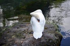 Cisne el dormir Fotos de archivo
