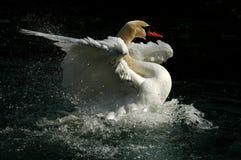 Cisne el Tzar en una charca Imágenes de archivo libres de regalías