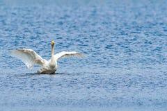 Cisne elegante Imágenes de archivo libres de regalías