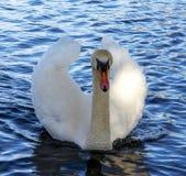 Cisne elegante Fotografía de archivo libre de regalías
