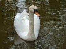Cisne elegante em um lago Fotos de Stock Royalty Free