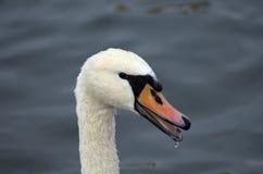 Cisne em Danúbio Imagem de Stock