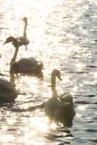 Cisne em Danube River na manhã Imagem de Stock Royalty Free