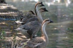 Cisne em seguido Imagem de Stock Royalty Free