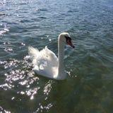 Cisne em um dia bonito no mar fotografia de stock