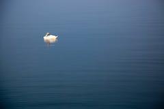 Cisne em um lago Imagem de Stock Royalty Free