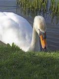 Cisne em um lago Imagens de Stock