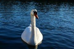 Cisne em um lago Fotografia de Stock