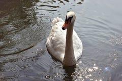 Cisne em um lago Imagem de Stock