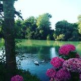 Cisne em um rio imagem de stock royalty free