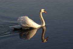 Cisne em uma lagoa Foto de Stock Royalty Free