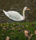 Cisne en agua Fotos de archivo libres de regalías