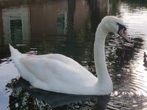 Cisne en agua por el hogar Fotografía de archivo