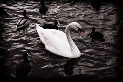 Cisne en blanco y negro Foto de archivo libre de regalías