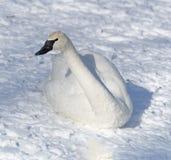 Cisne en descanso Foto de archivo