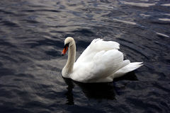 Cisne en el agua Imagen de archivo