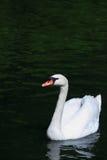 Cisne en el agua Imagen de archivo libre de regalías