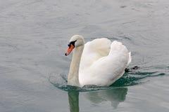 Cisne en el agua Fotografía de archivo
