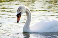 Cisne en el agua Fotos de archivo libres de regalías