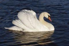 Cisne en el agua azul imágenes de archivo libres de regalías
