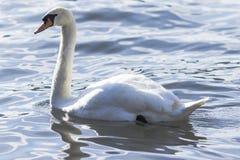 Cisne en el agua azul del lago Foto de archivo libre de regalías