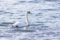 Cisne en el agua azul del lago Fotografía de archivo