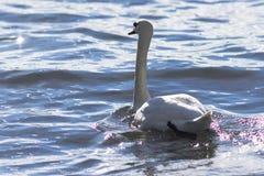 Cisne en el agua azul del lago Fotos de archivo