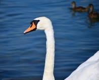 Cisne en el azul Imagen de archivo