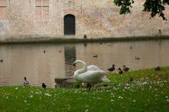 Cisne en el canal de Brujas Imagen de archivo