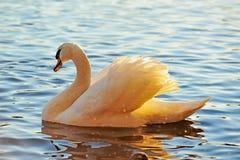 Cisne en el color del oro imagenes de archivo