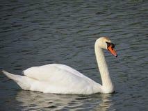 Cisne en el delta de Danubio Imagenes de archivo