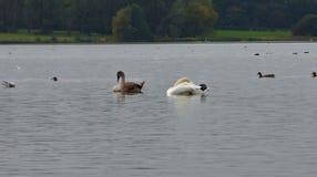 Cisne en el flash del pennington, foto admitida el Reino Unido foto de archivo libre de regalías