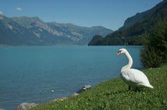 Cisne en el lado del lago Imágenes de archivo libres de regalías