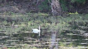 Cisne en el lago almacen de video