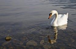 Cisne en el lago Fotos de archivo