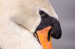 Cisne en el lago Fotografía de archivo libre de regalías