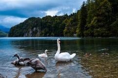 Cisne en el lago Imagen de archivo libre de regalías
