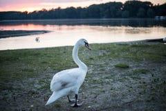 Cisne en el lago Foto de archivo libre de regalías