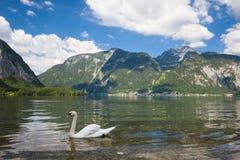 Cisne en el lago alpino Fotografía de archivo