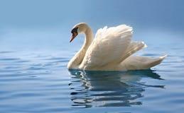 Cisne en el lago azul brumoso Foto de archivo
