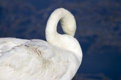 Cisne en el lago Balatón Fotografía de archivo
