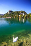 Cisne en el lago Bled, Eslovenia Imagen de archivo