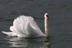 Cisne en el lago de Constanza Imagenes de archivo