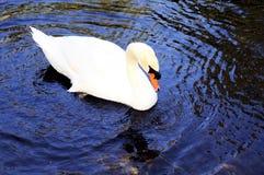 Cisne en el lago, la Florida Fotografía de archivo
